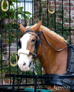 Charleston, SC horse