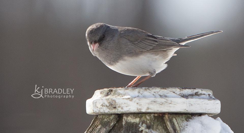 song_bird_grey_bird_nc_winter