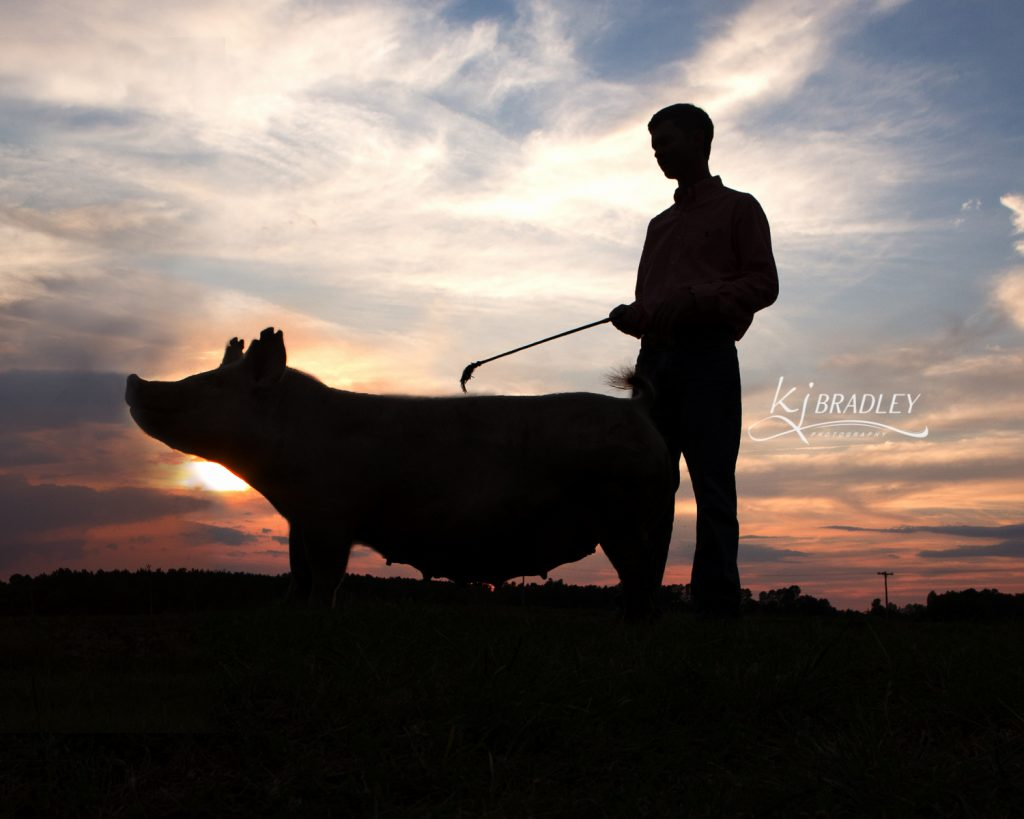 Swine_silhouette_pig_senior
